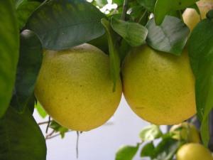 grapefruit aromahead institute